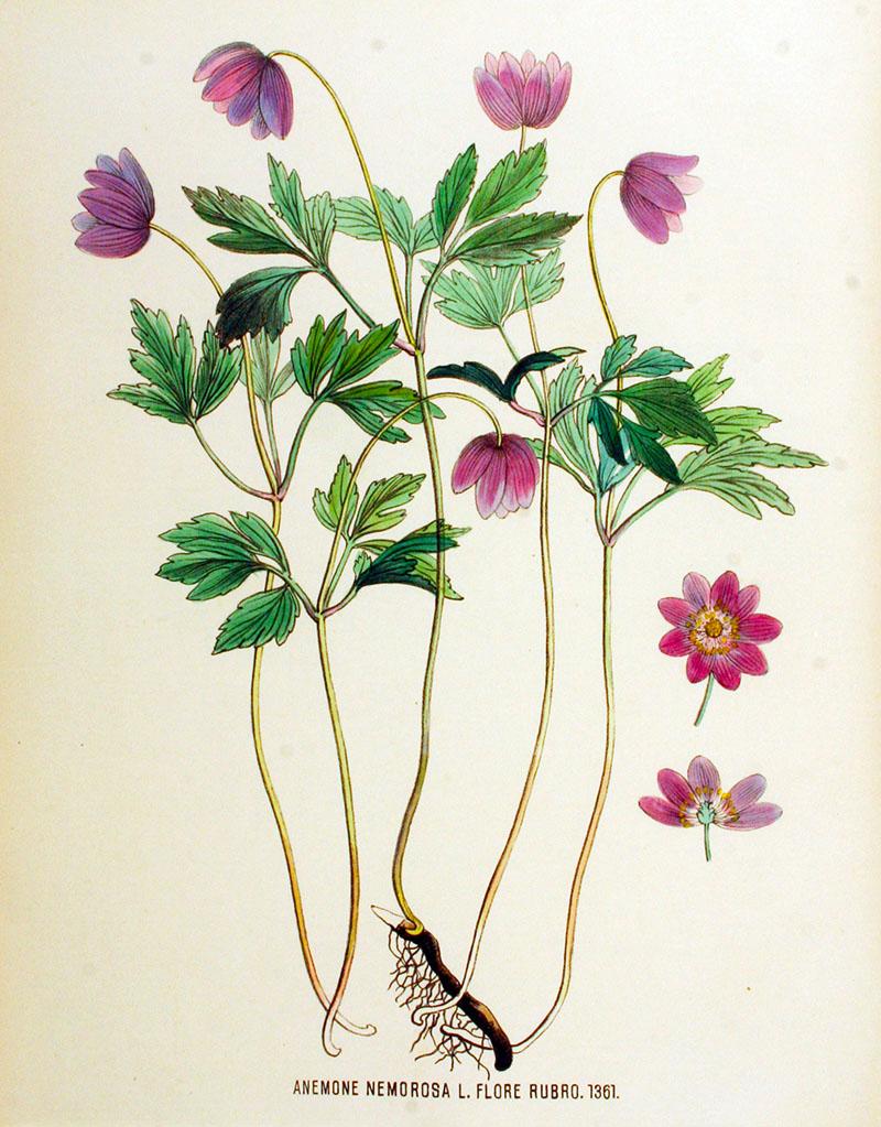 Anemone nemorosa — Flora Batava Free Printable