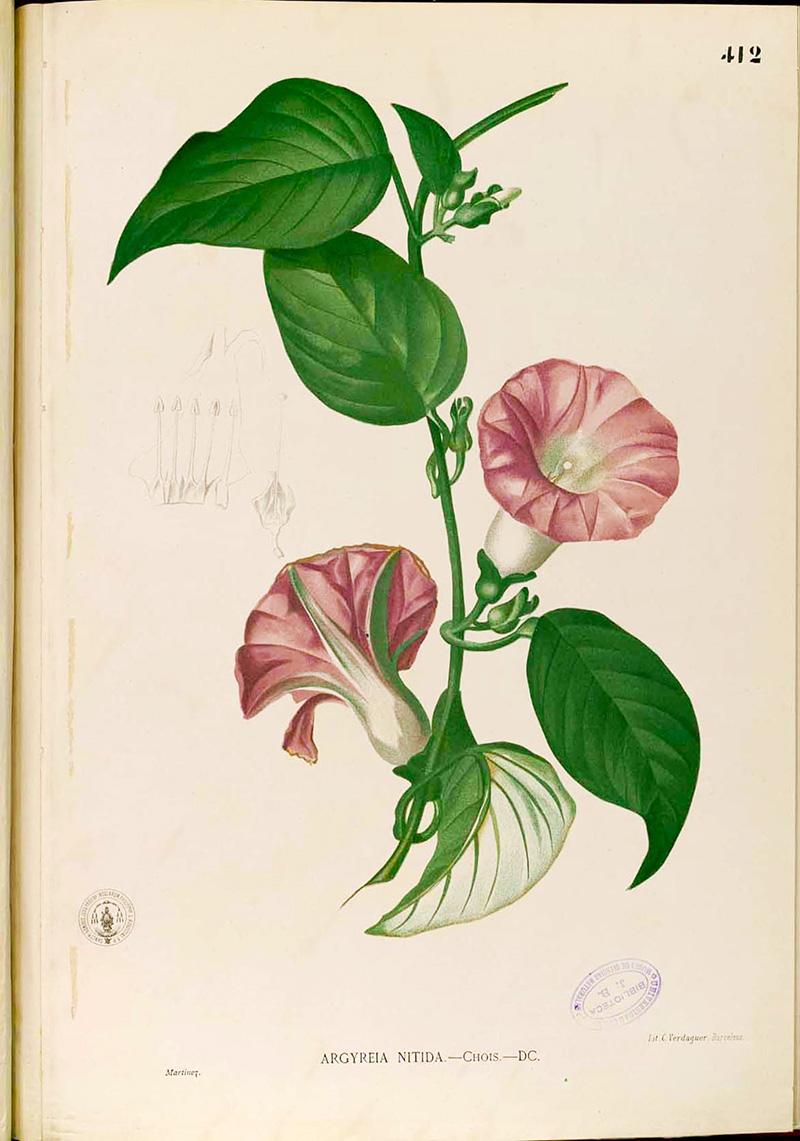 Argyreia_sp_Blanco Flora de Fillipanos 1880 free printable