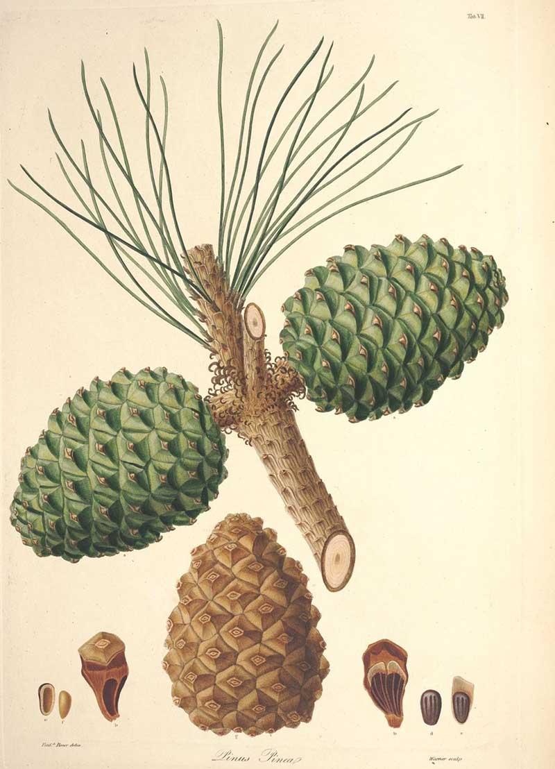 Vintage botanical image stone pine