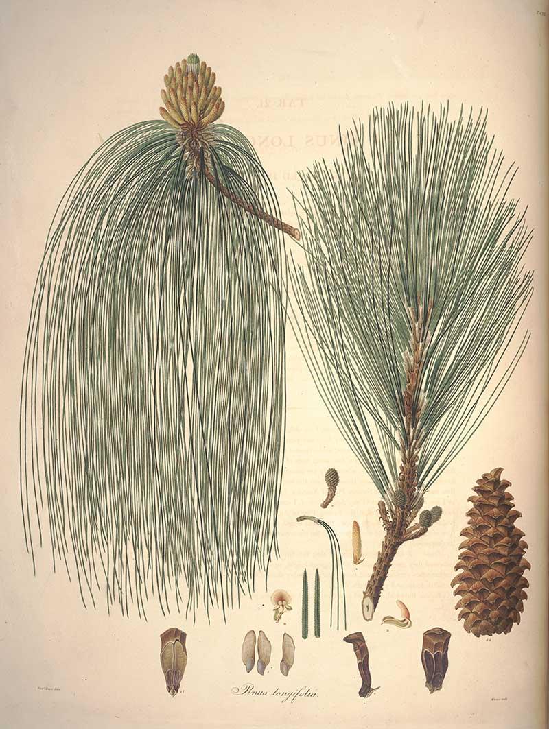 Longleaf pine vintage image