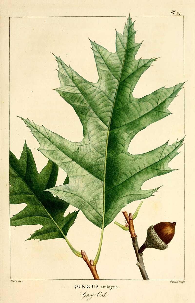 Grey oak botanical print