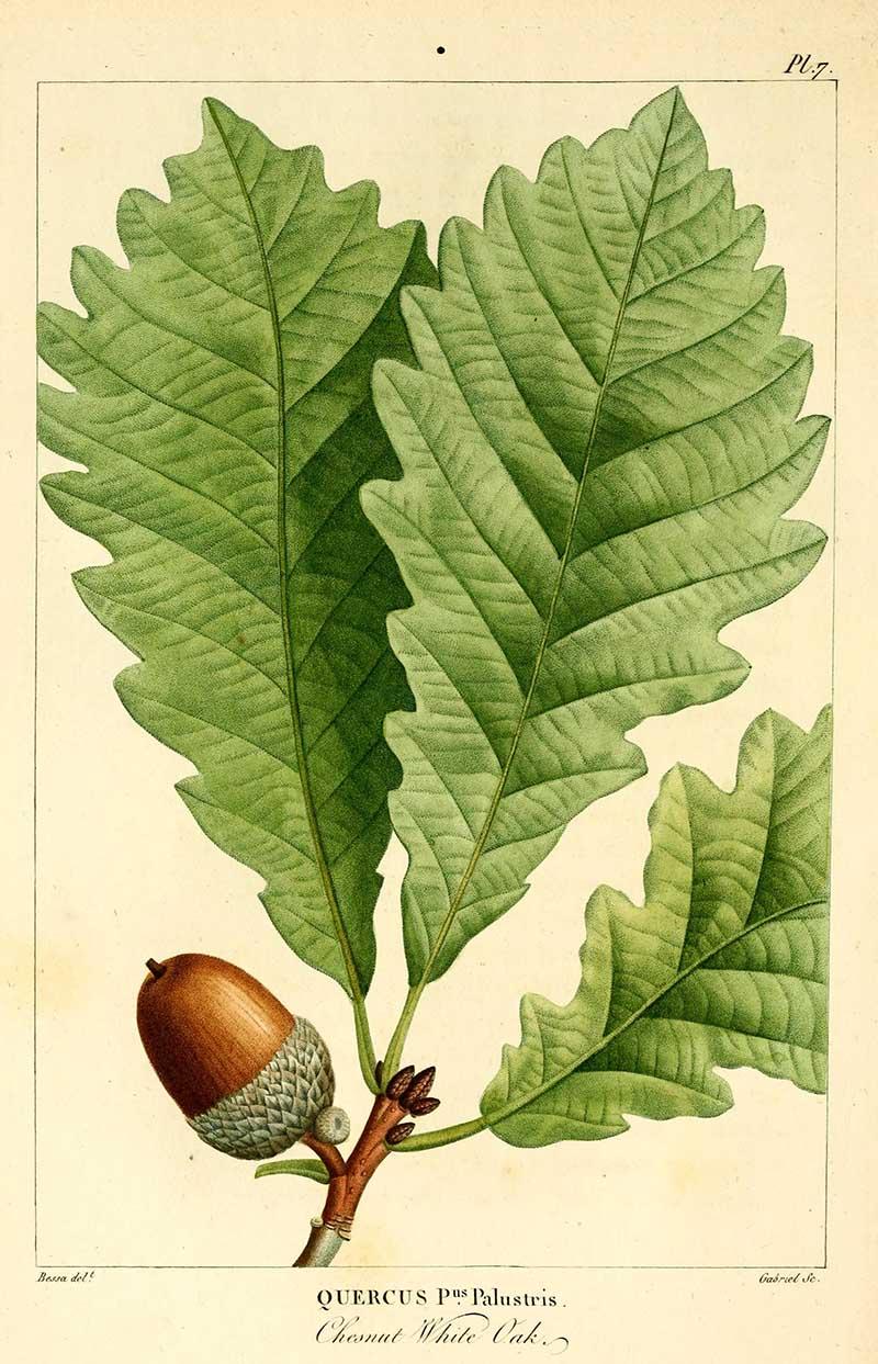 Chestnut white oak botanical image