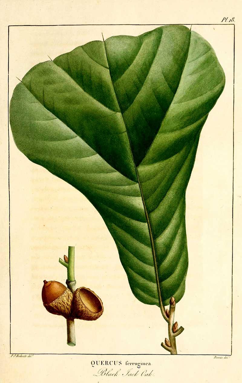 Black Jack oak free botanical printable