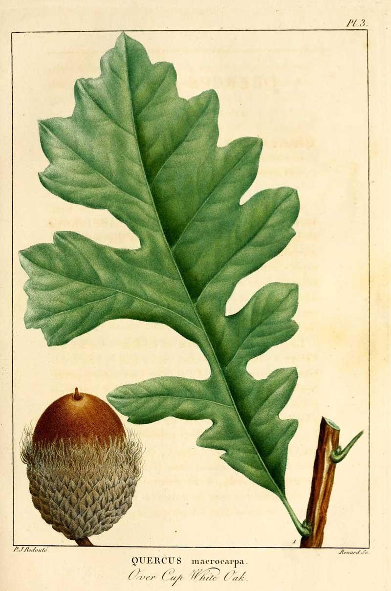White Oak Free Vintage botanical print