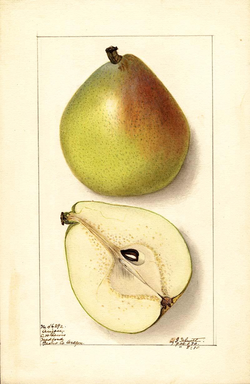 Illustration of an Anju pear