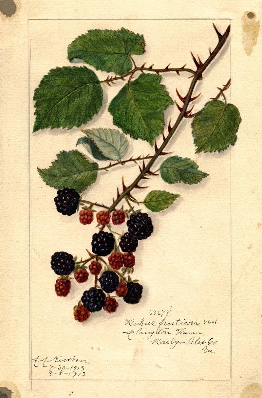 blackberries on branch