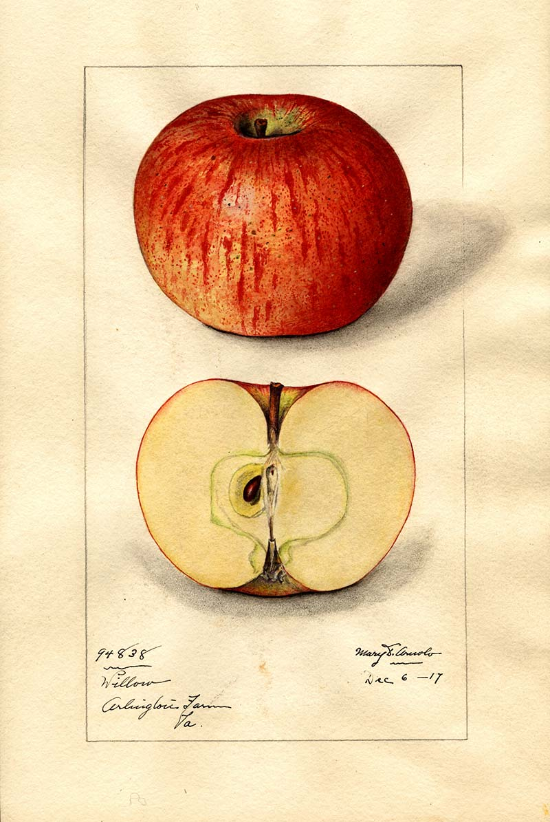 watercolor fruit painting of an apple