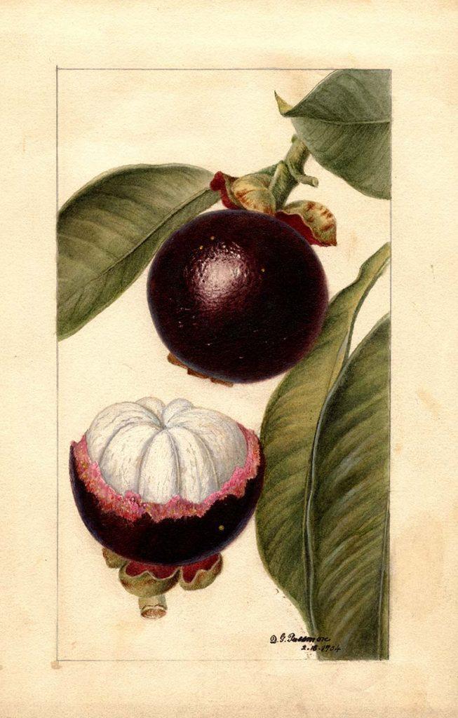 Mangosteen illustration