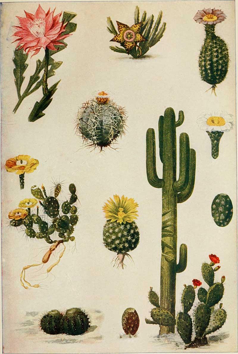 Assorted vintage cacti illustrations 1908