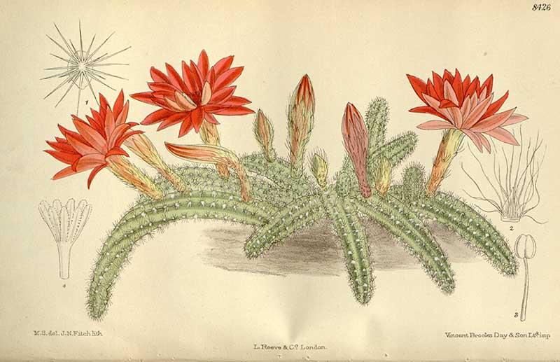 Flowering peanut cacti 1912