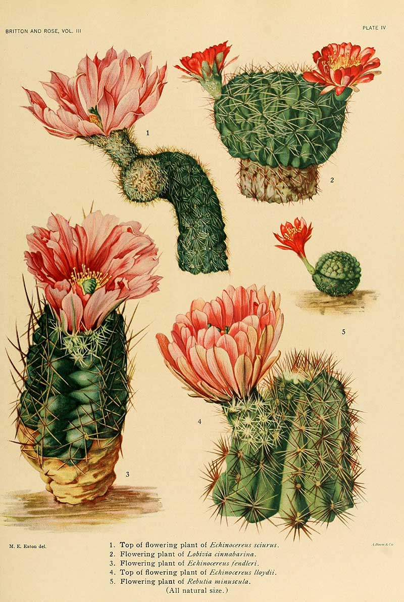 Pink Flowering cacti - Pictureboxblue.com