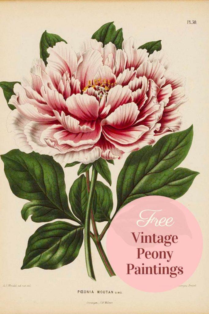 free vintage peony paintings
