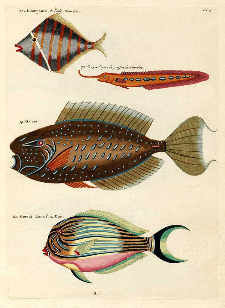 Louis Renard antique fish prints 77-80