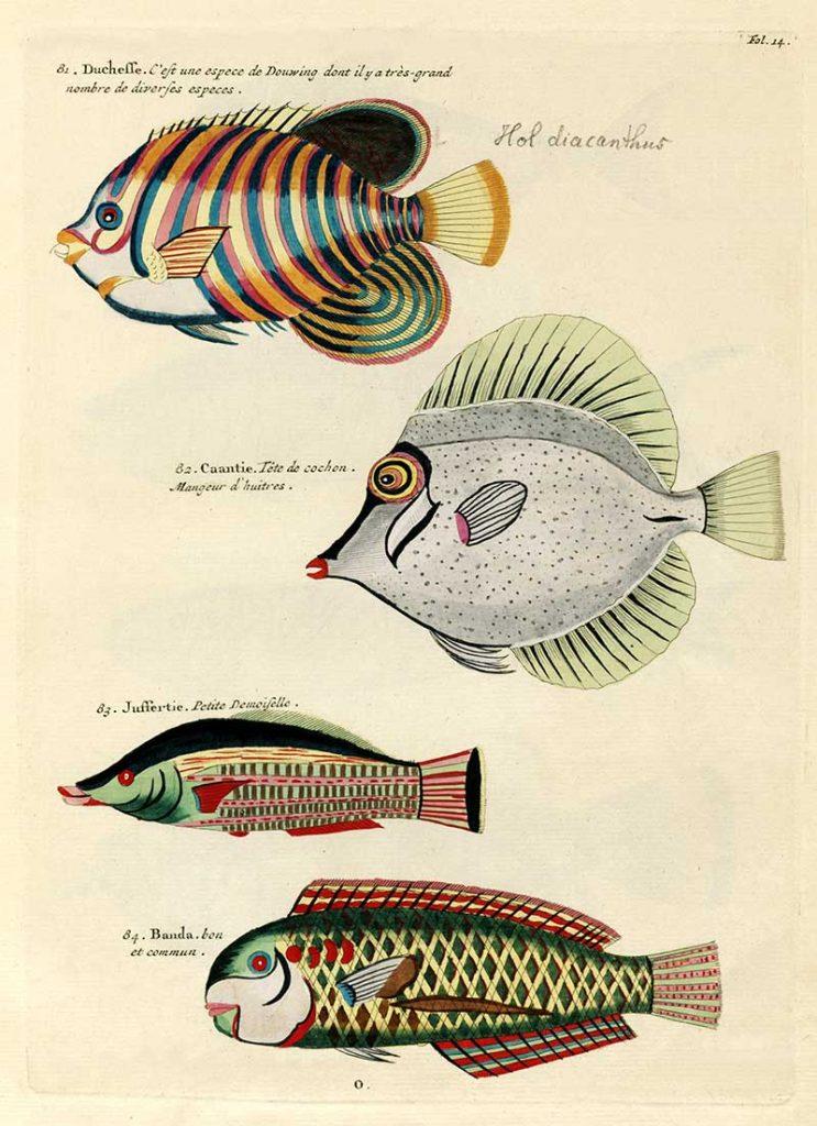 Antique fish prints 81-84