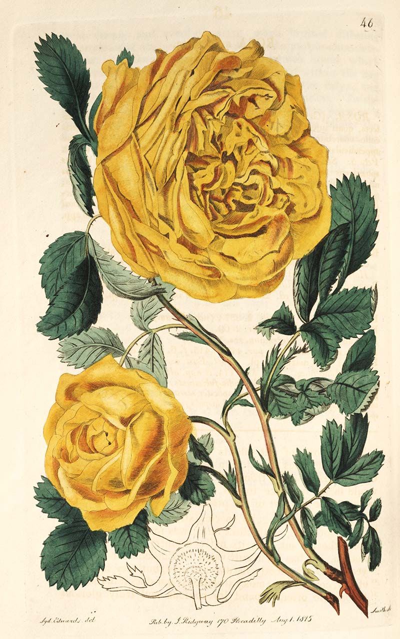 Sulphur Rose one of many beautiful botanical rose prints free to download.