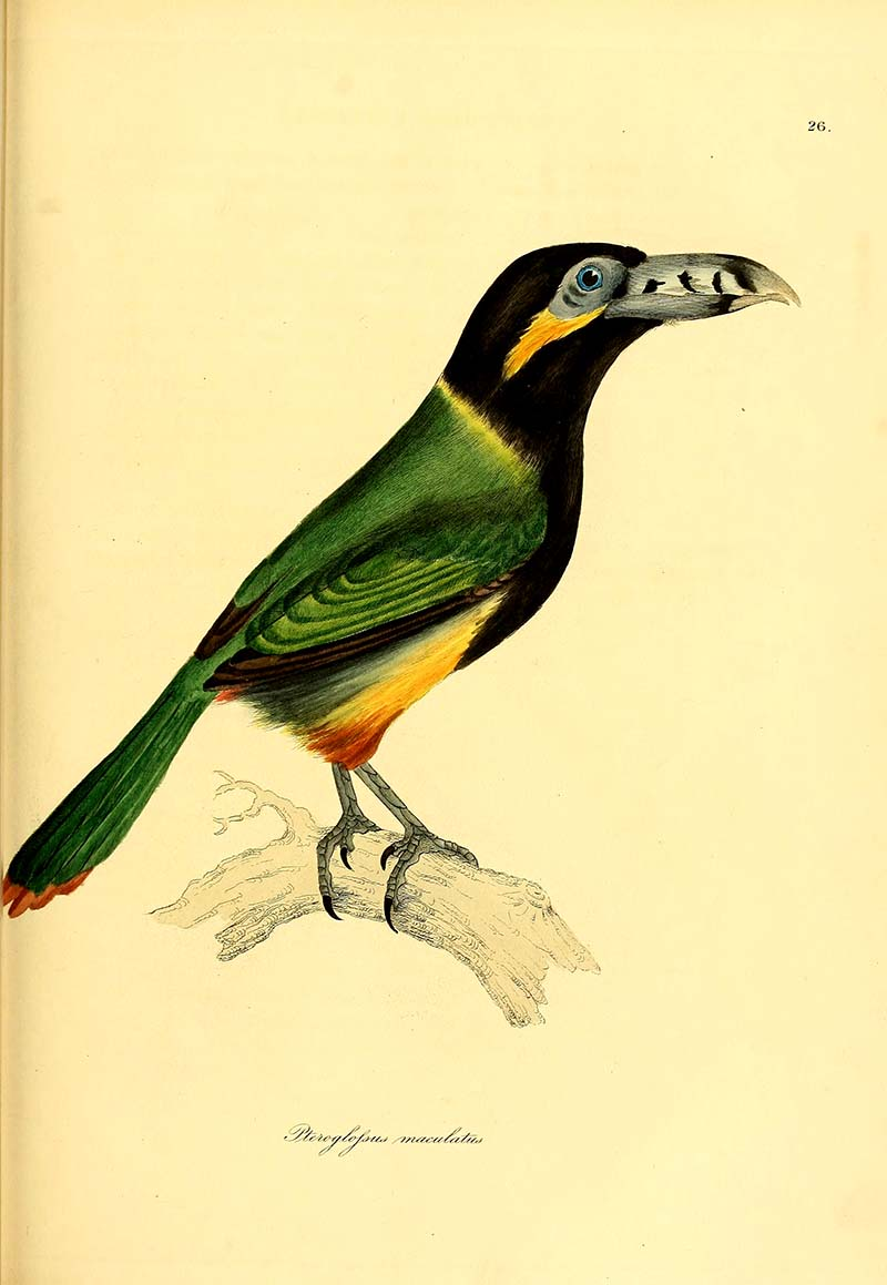 Spot Billed Toucan -1826 more toucan paintings available.