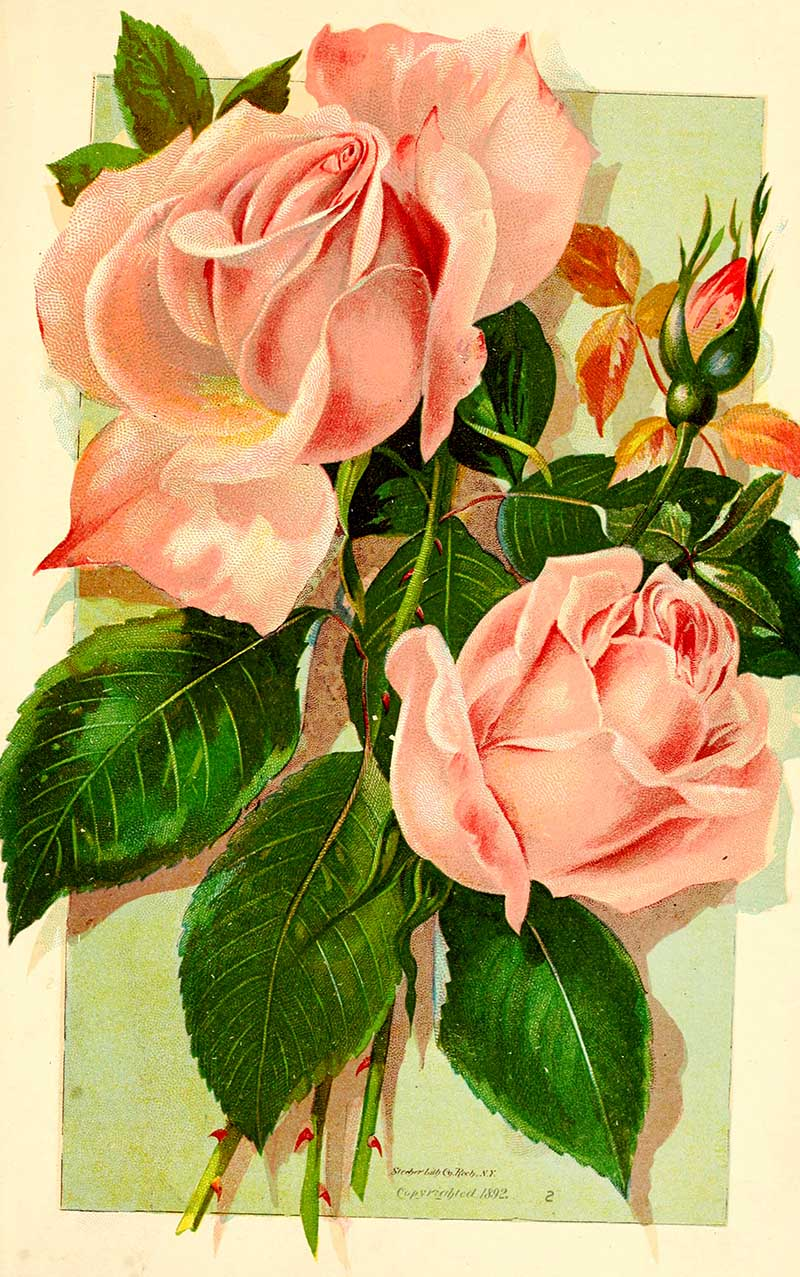 Tea Rose one of many lovely botanical rose prints free to download