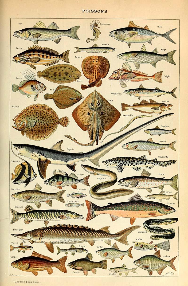 Fish identification print