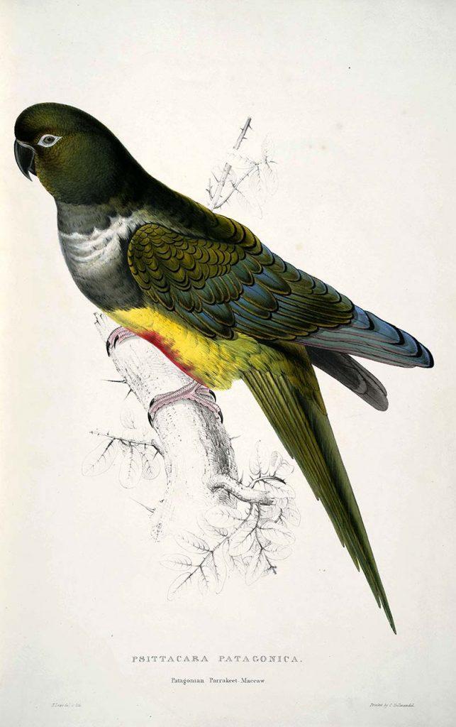 Patagonian Parrakeet Maccaw Edward Lear 1832