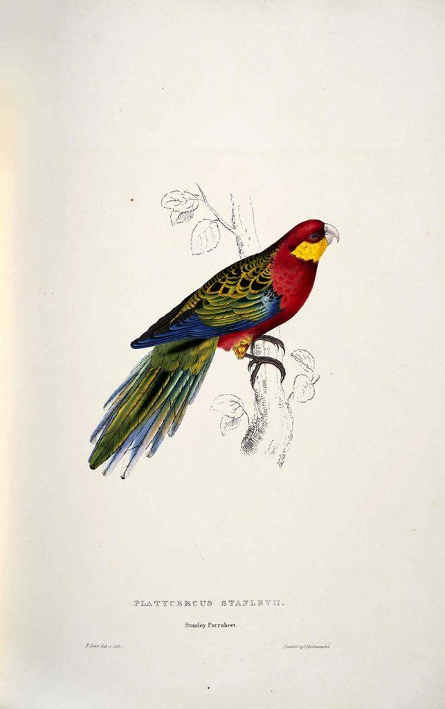 Stanley Parakeet Edward Lear