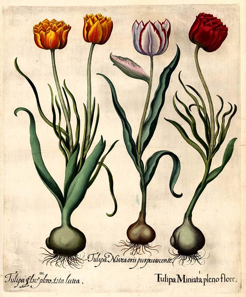 trio of tulip illustraiton