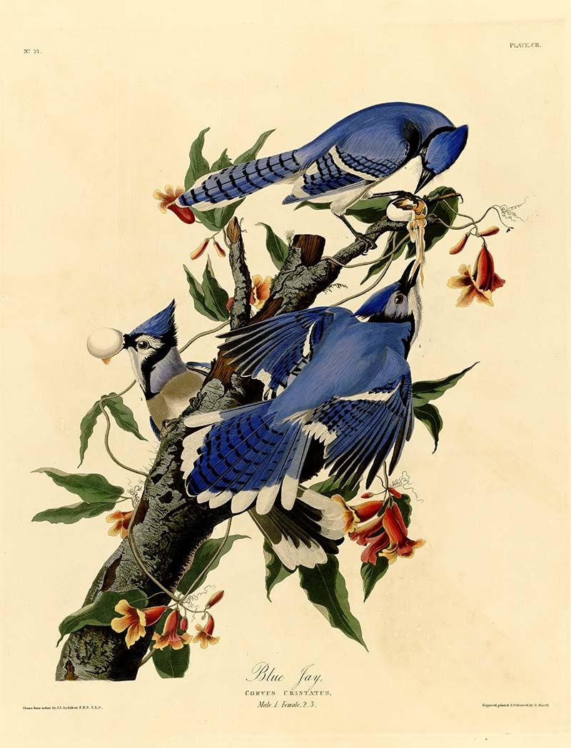 American Songbirds Blue Jay