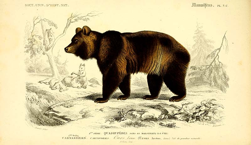 vintage animal prints Brown bear