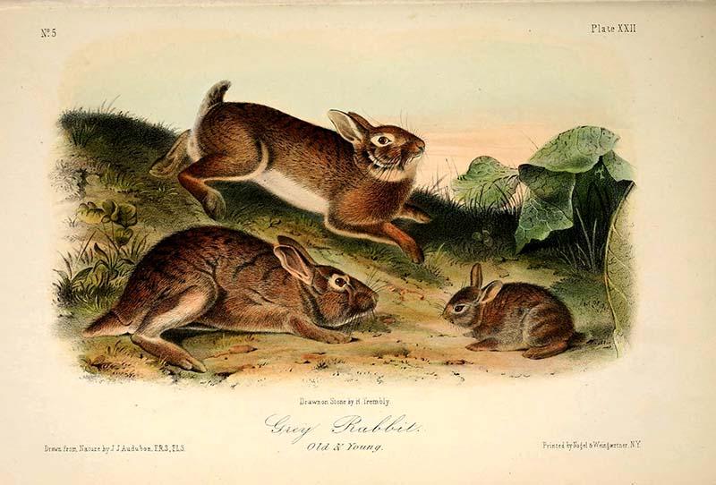 Grey rabbits and bunny