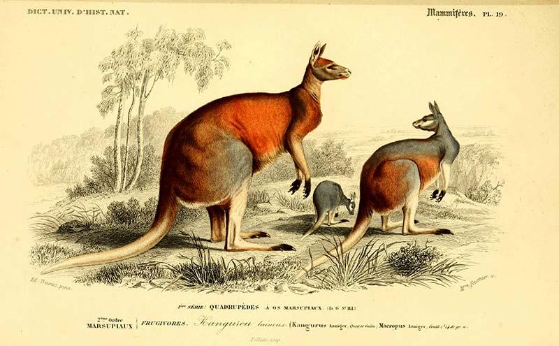 Kangaroo print