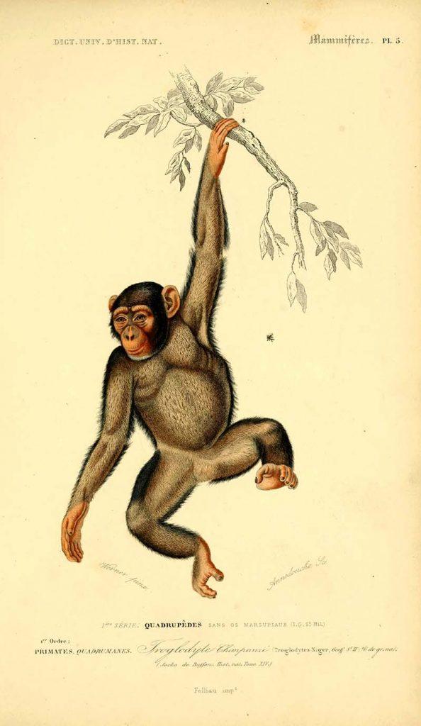 Victorian Chimpanzee illustraitons