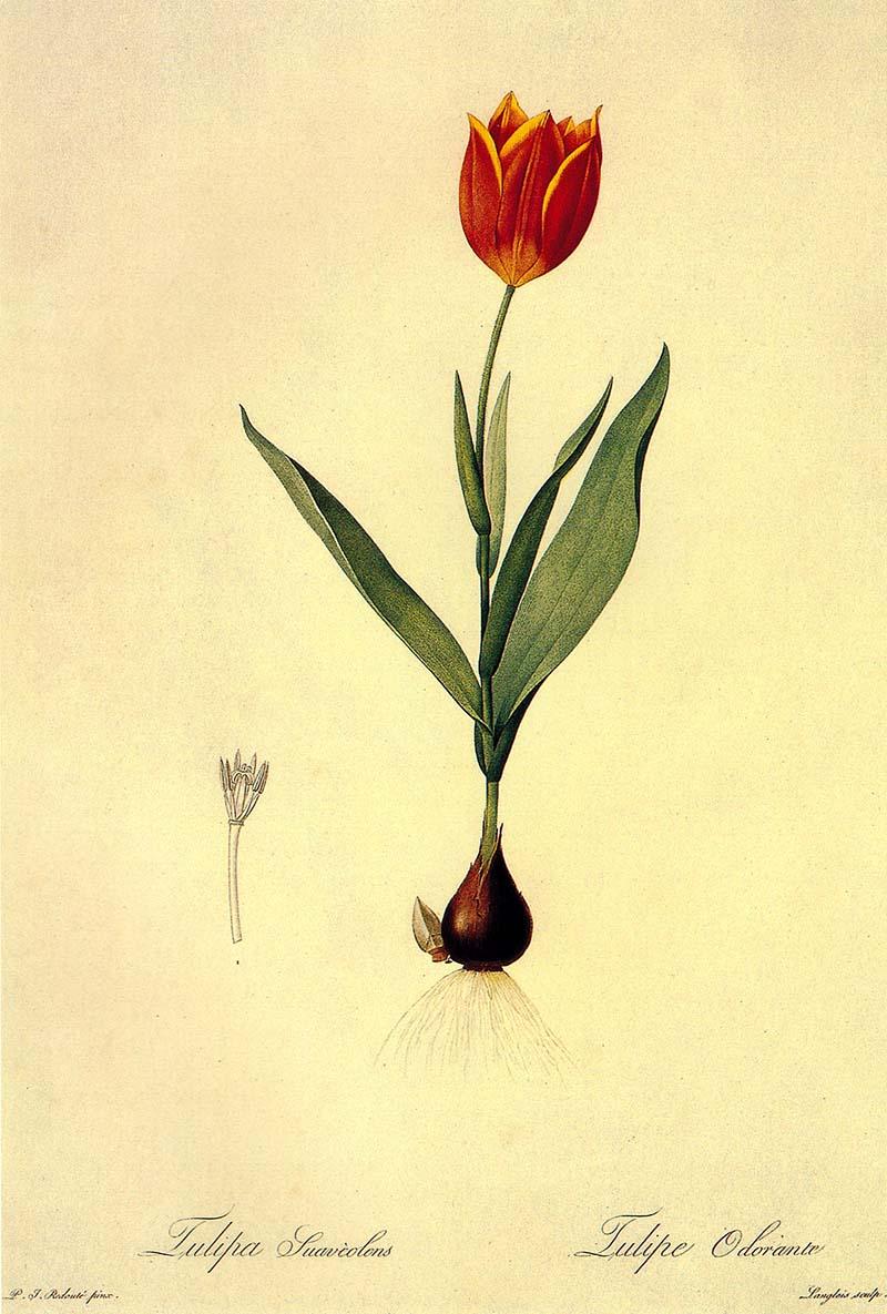 free tulip paintings