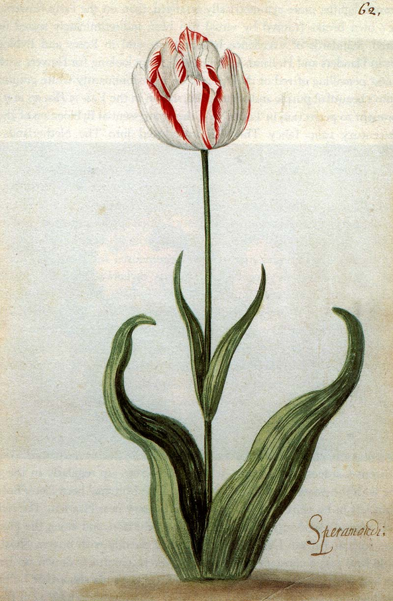 red and white tulip 1640