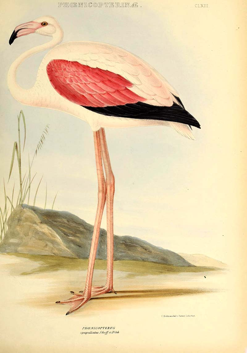Chilean Flamingo Painting