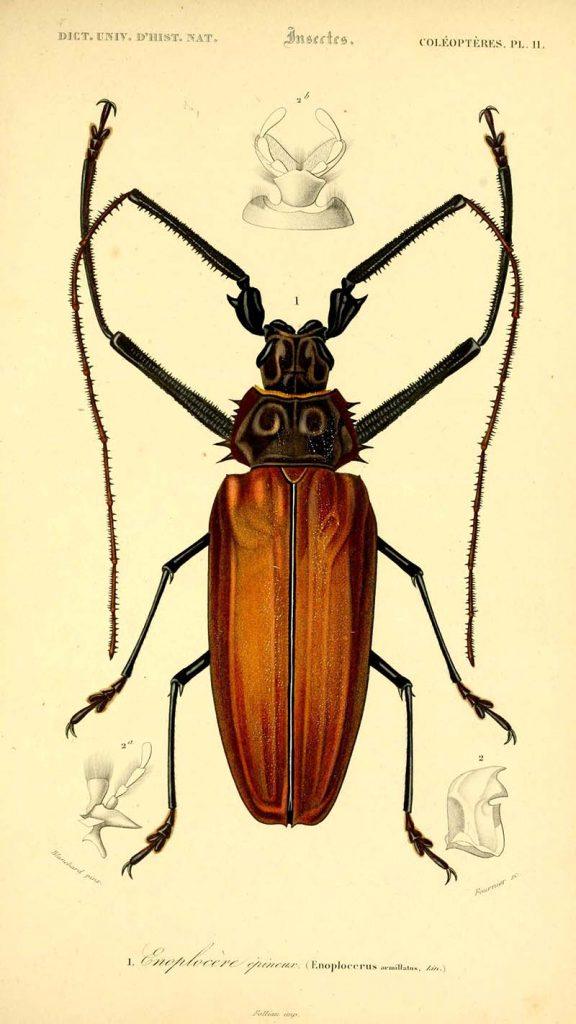 Giant Long Horn Beetle illustration