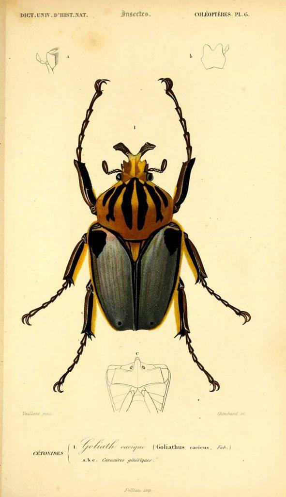Goliathus Cacicus beetle
