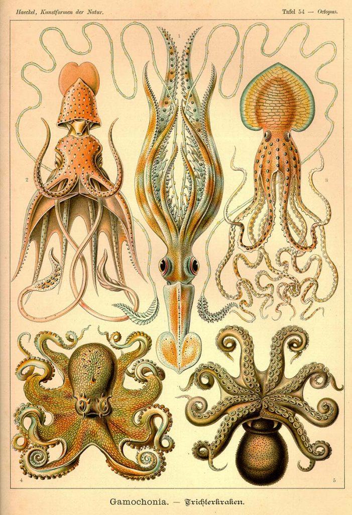vintage octopuses drawings