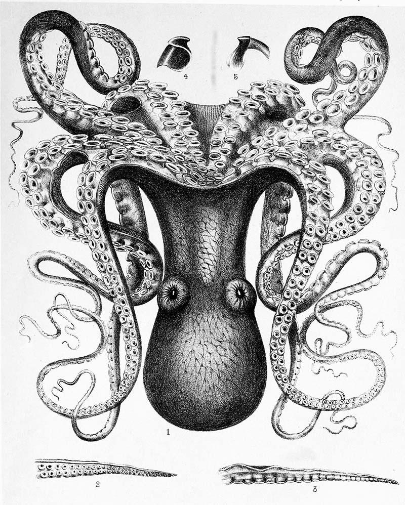 big blue octopus print