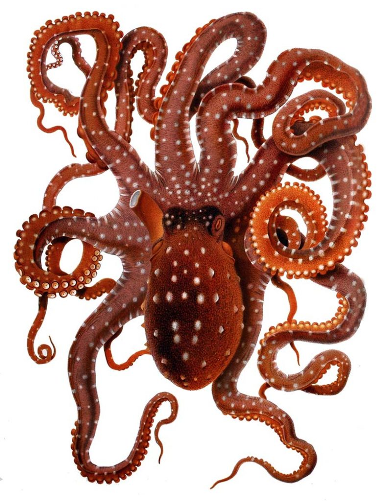 Vintage octopus drawing white spotted octopus