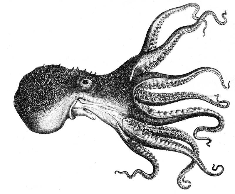 Black and white octopus illustration