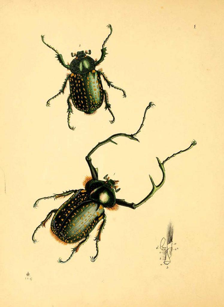 Long armed scarab