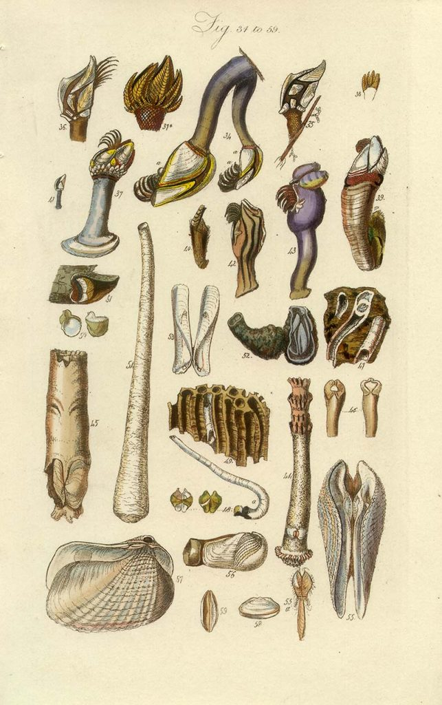 Barnacles and other shells poster