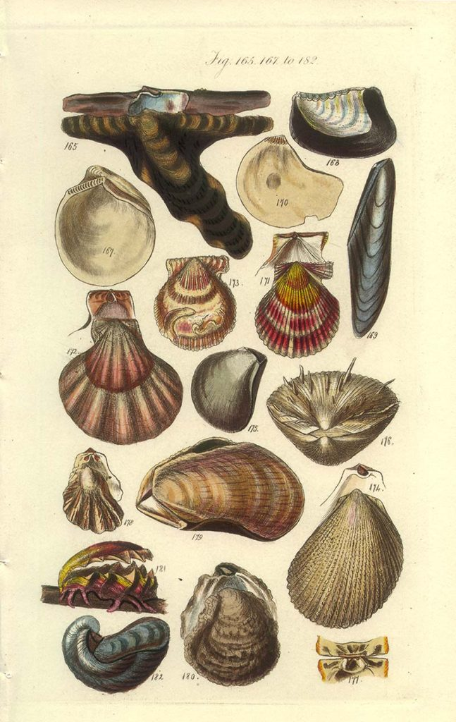 Clams scallops and oyster shell identification poster