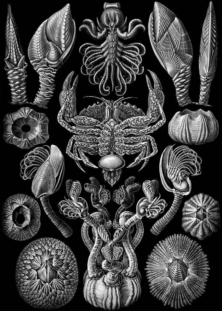 Cirripedia Barnacles