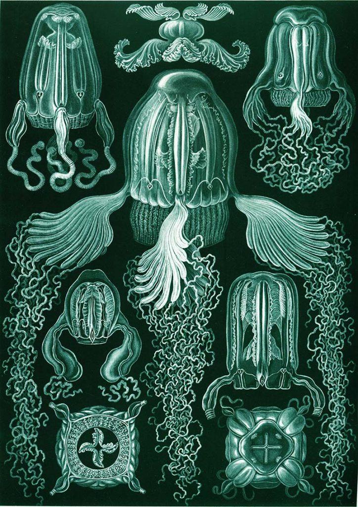 Ernst Haeckel drawings box jellyfish
