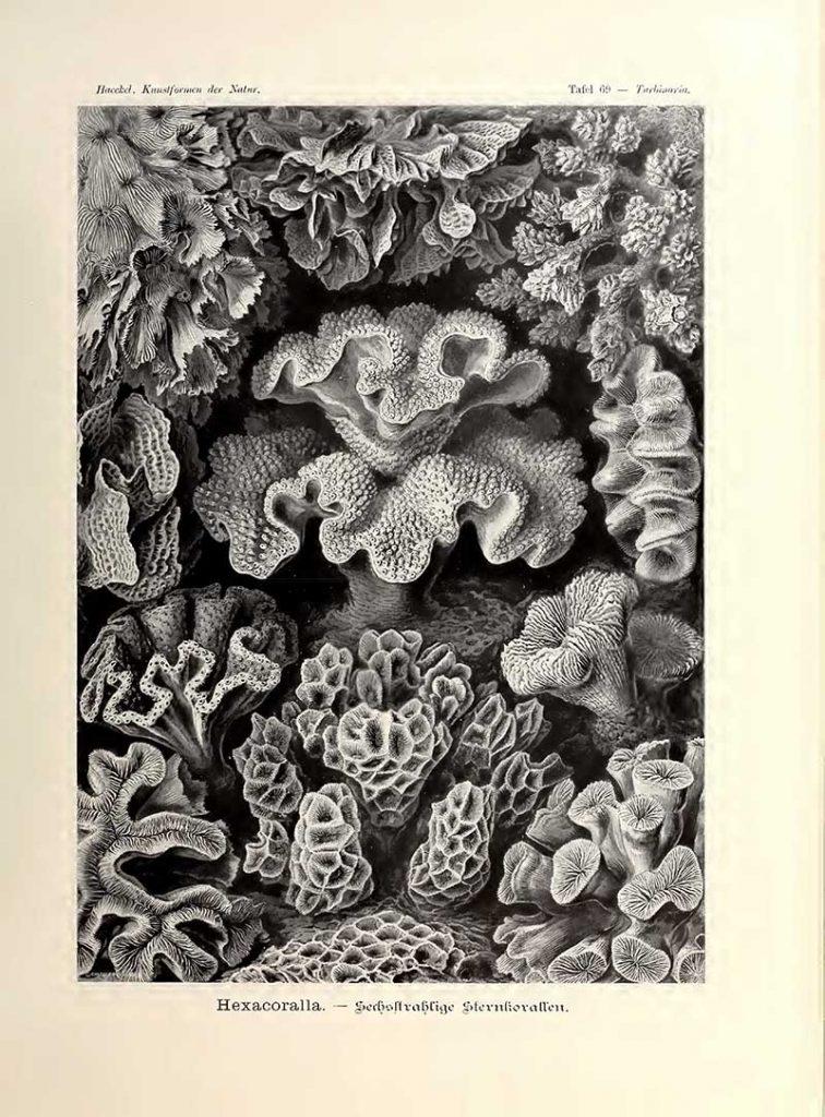 Hexacoralla Kunstformen der Natur s
