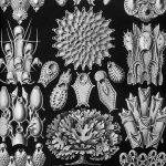 Monochrome Ernst Haeckel Prints
