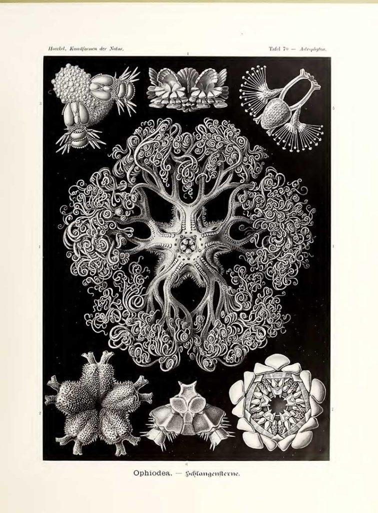 Ophiodea Kunstformen der Natur