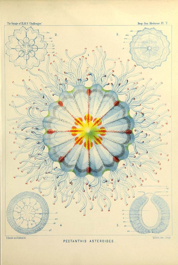 Pectanthis asteroides Ernst Haeckel