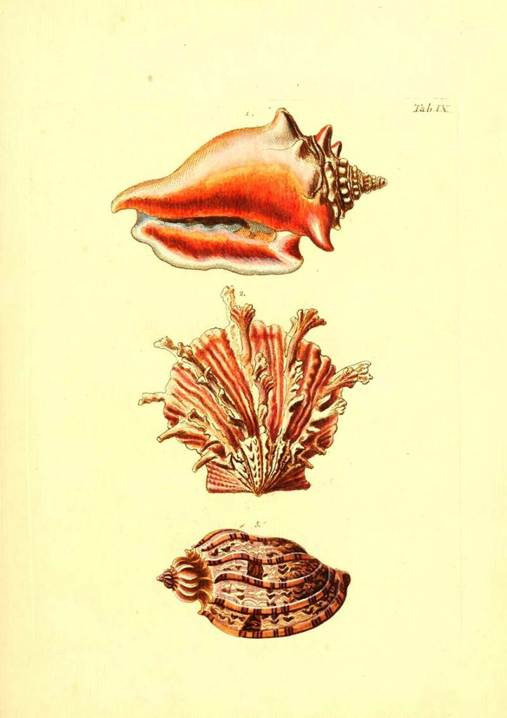 free vintage shell illustration