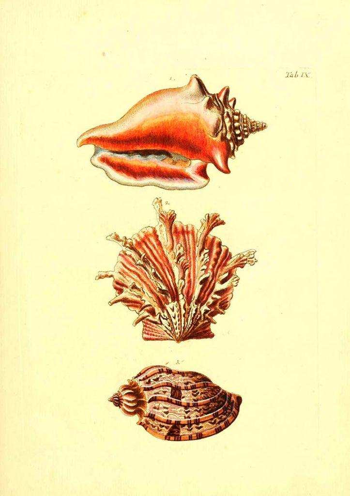 free vintage shell illustration